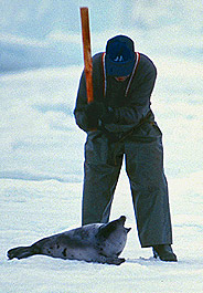 Canada is killing more seals than ever!